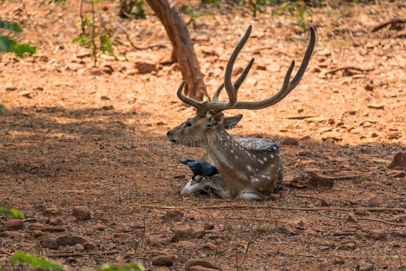 Un sambar dei cervi che riposano sotto un'ombra dell'albero & molto corvo stanno giocando sopra sopra il corpo del sambar immagini stock libere da diritti