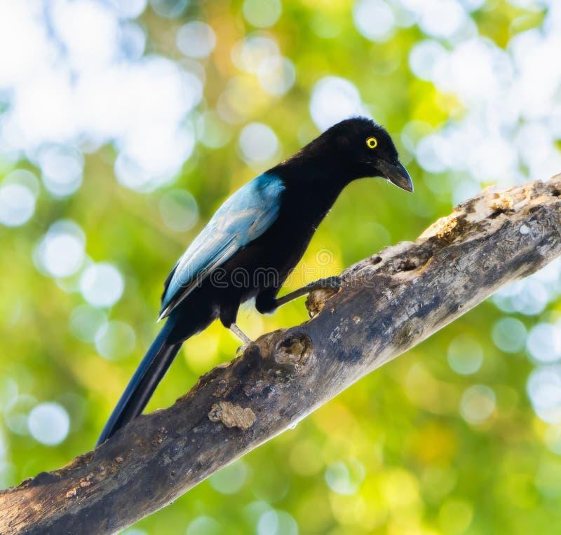 Un sanblasianus blu luminoso iridescente di San Blas Jay Cyanocorax in un albero nel Messico fotografia stock