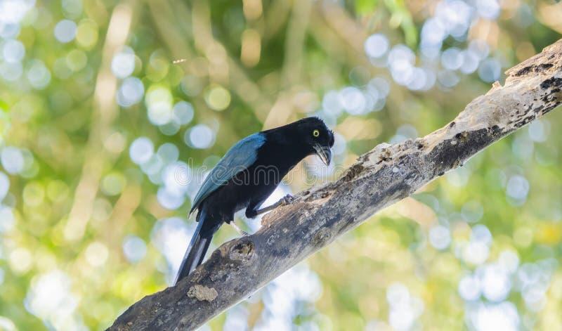 Un sanblasianus blu luminoso iridescente di San Blas Jay Cyanocorax in albero nel Messico fotografia stock libera da diritti