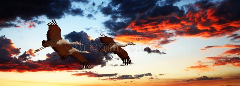 Un Sandhill Crane Trio Flies en la puesta del sol foto de archivo