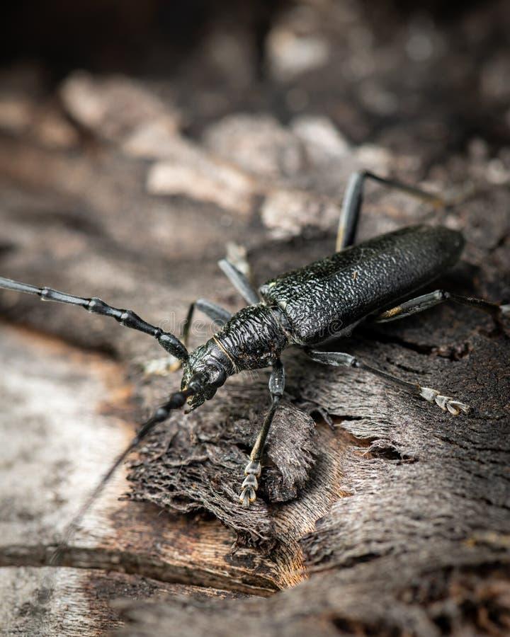 Un scarabée de Capricorne se reposant sur un tronc d'arbre photos stock