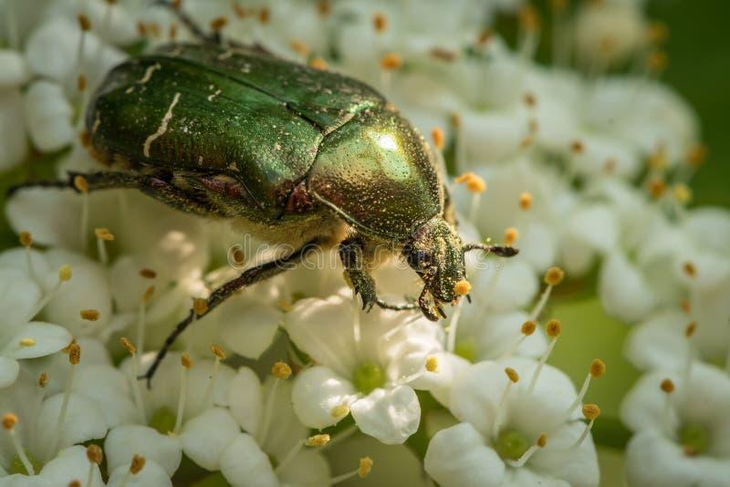 Un scarabée de fleur alimentant sur les fleurs blanches image libre de droits