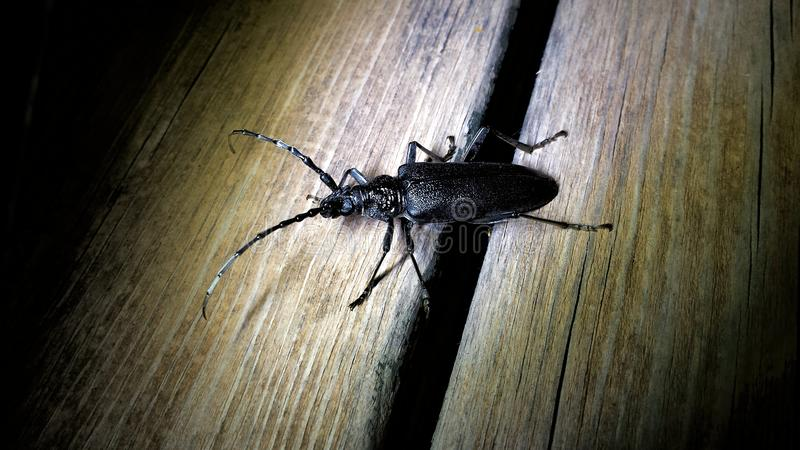 Un scarabée de longhorn de Cerambycidae repéré la nuit photos stock