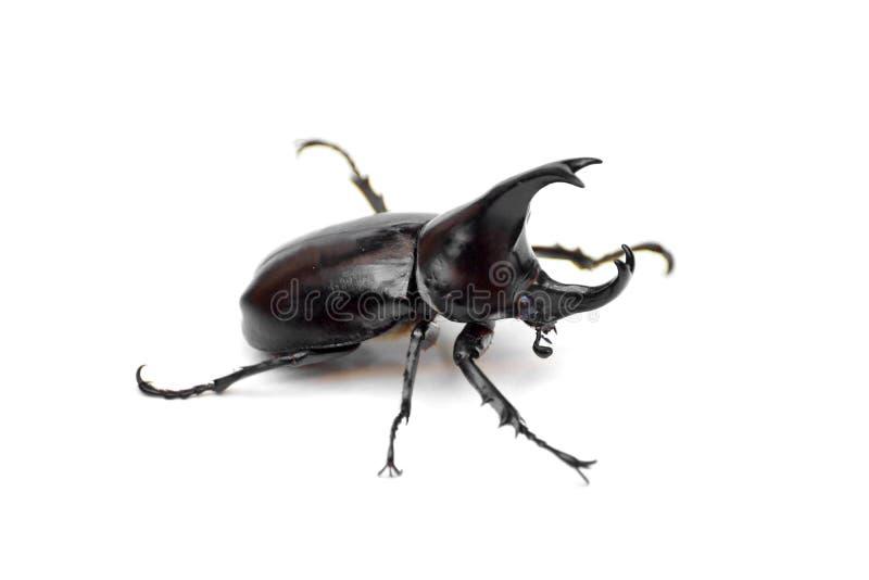 Un scarabée de rhinocéros photos stock