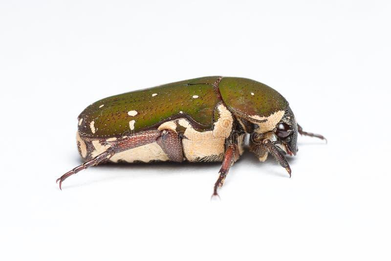 Un scarabée en gros plan de vue de côté avec le fond blanc photographie stock libre de droits