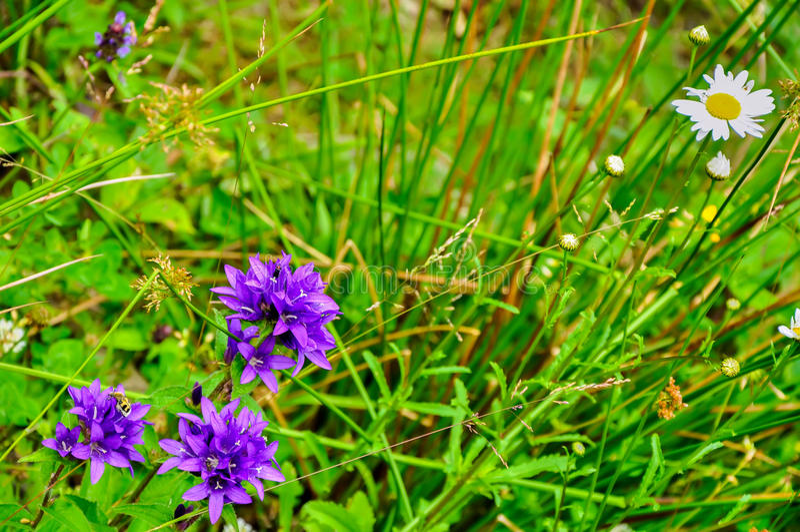 Un scarabée sur une fleur pourpre image stock