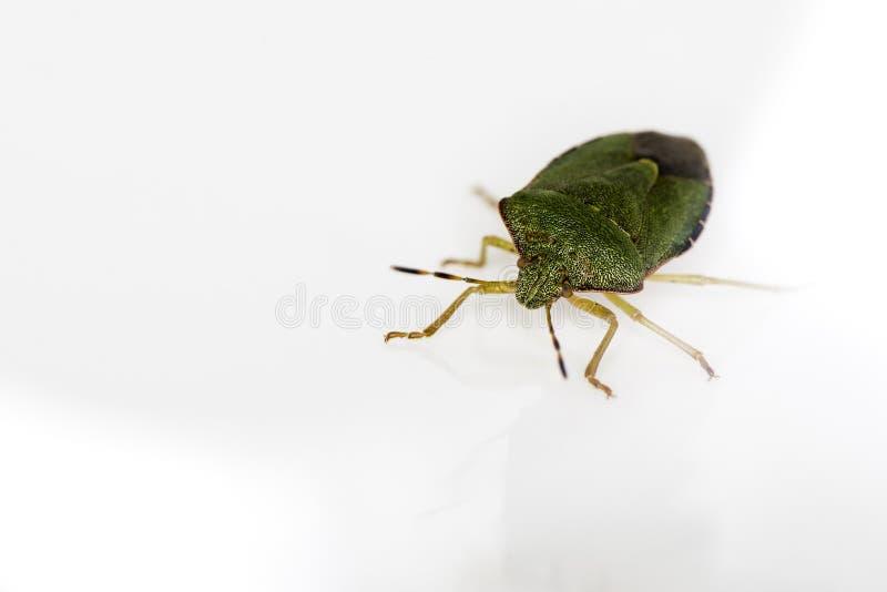 Un scarabée vert (Palomena Prasina) sur le blanc. photo stock