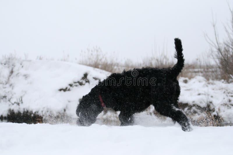 Un schnauzer gigante joven en el funcionamiento huele nieve en la orilla del río en invierno imagen de archivo