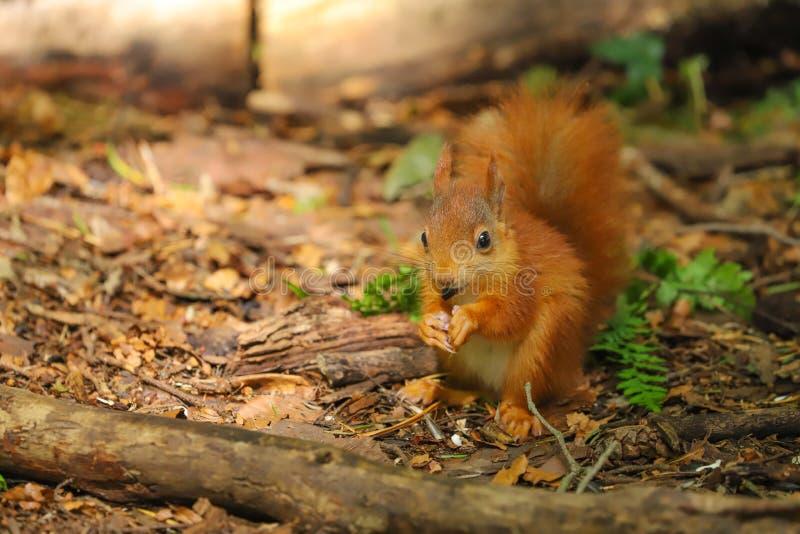 Un Sciurus d'écureuil rouge de bébé vulgaris photographie stock