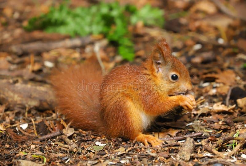 Un Sciurus d'écureuil rouge de bébé vulgaris images libres de droits