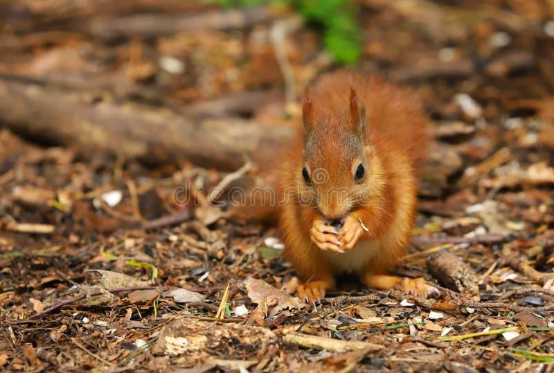 Un Sciurus d'écureuil rouge de bébé vulgaris photo stock