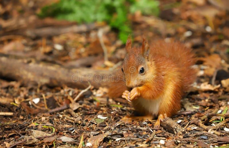 Un Sciurus de la ardilla roja del bebé vulgaris foto de archivo