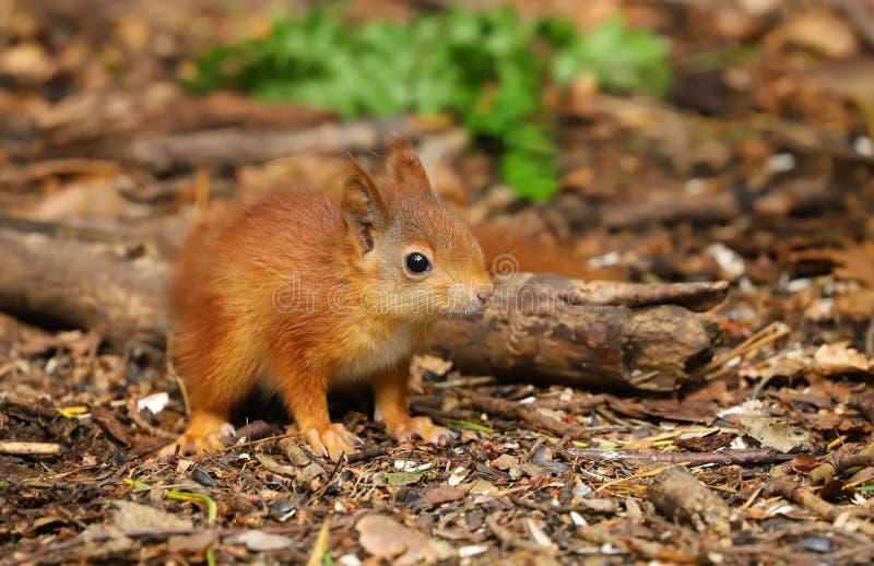Un Sciurus de la ardilla roja del bebé vulgaris imagen de archivo libre de regalías