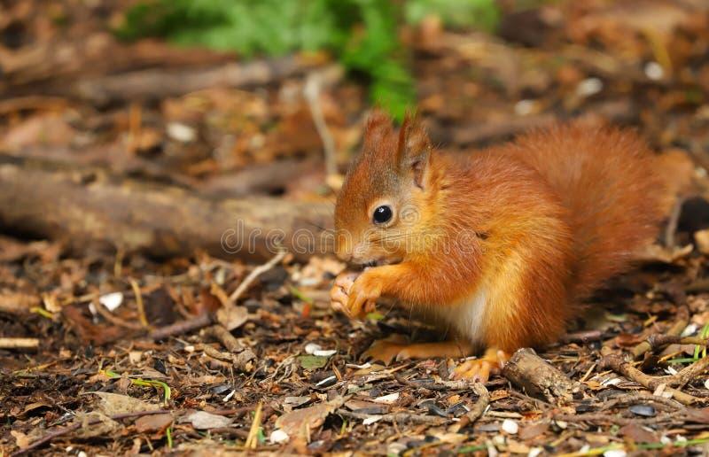Un Sciurus de la ardilla roja del bebé vulgaris imagen de archivo