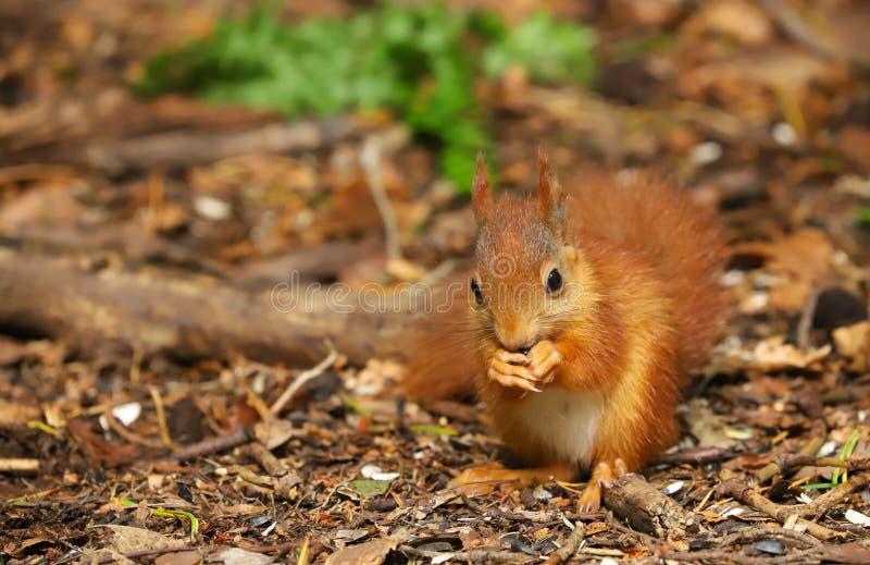 Un Sciurus de la ardilla roja del bebé vulgaris fotografía de archivo