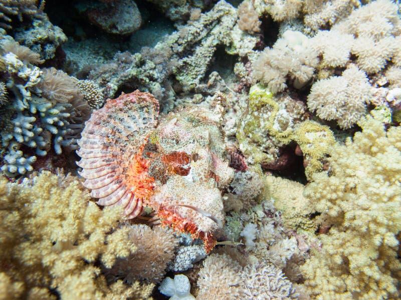 Un scrofa de scorpaena de rascasse, un poisson laid été perché sur le fond de la mer sur les rivages de l'Arabie Saoudite en Mer  images libres de droits