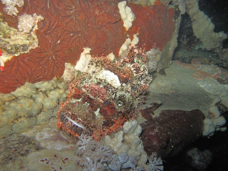 Un scrofa del scorpaena del cabracho, encaramado en el fondo del mar en las orillas de la Arabia Saudita en el Mar Rojo imagenes de archivo