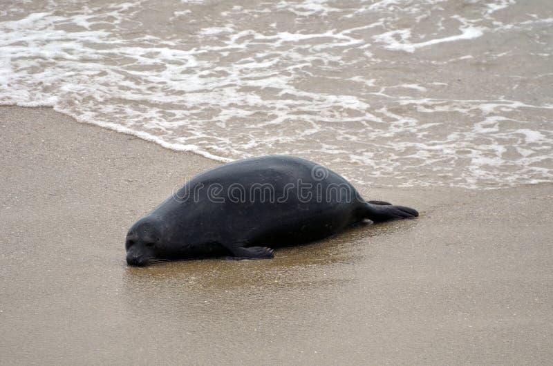 Un sello negro es mentira sola en la arena de la playa de California en los E.E.U.U. foto de archivo