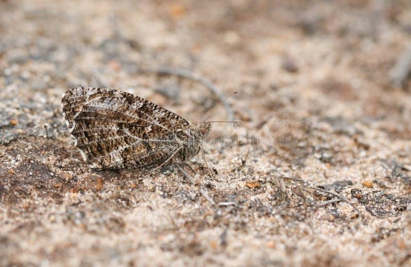 Un semele perfectamente camuflado de Hipparchia de la mariposa del Grayling que se encarama en la tierra imagenes de archivo
