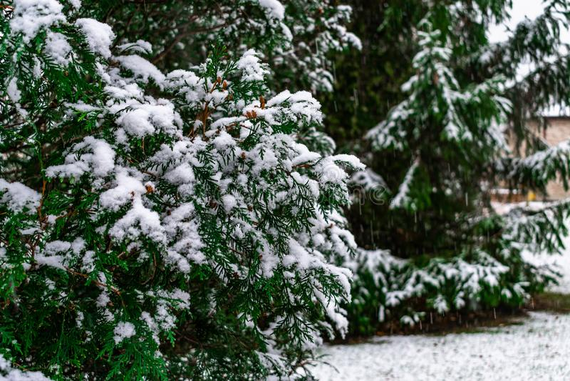 Un sempreverde e un pino con neve fresca a casa suburbana immagini stock libere da diritti