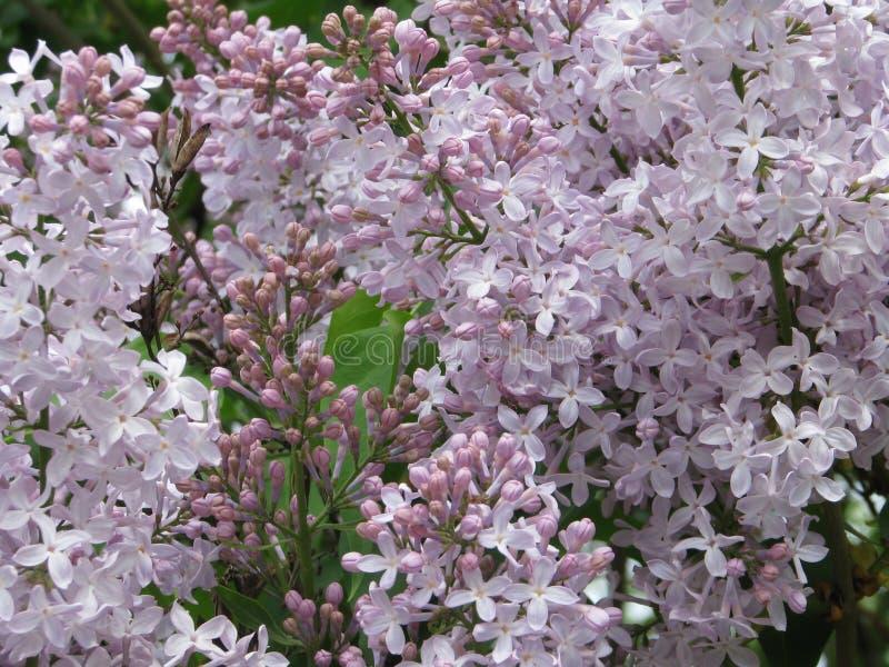 Un sens de joie et suite de la vie, regardant sur le lilas d'arbuste image stock