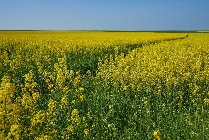 Un sentido en un campo de la rabina amarilla en primavera fotos de archivo