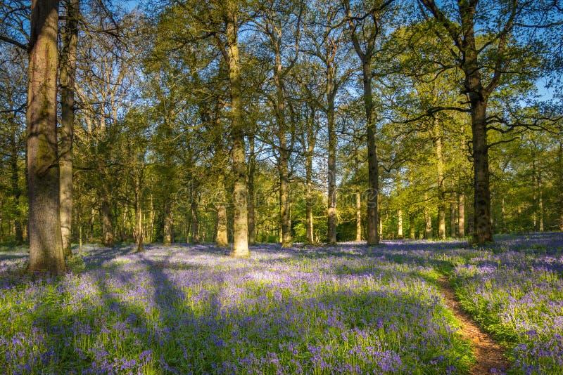 Un sentiero per pedoni in un legno di Bluebell immagine stock