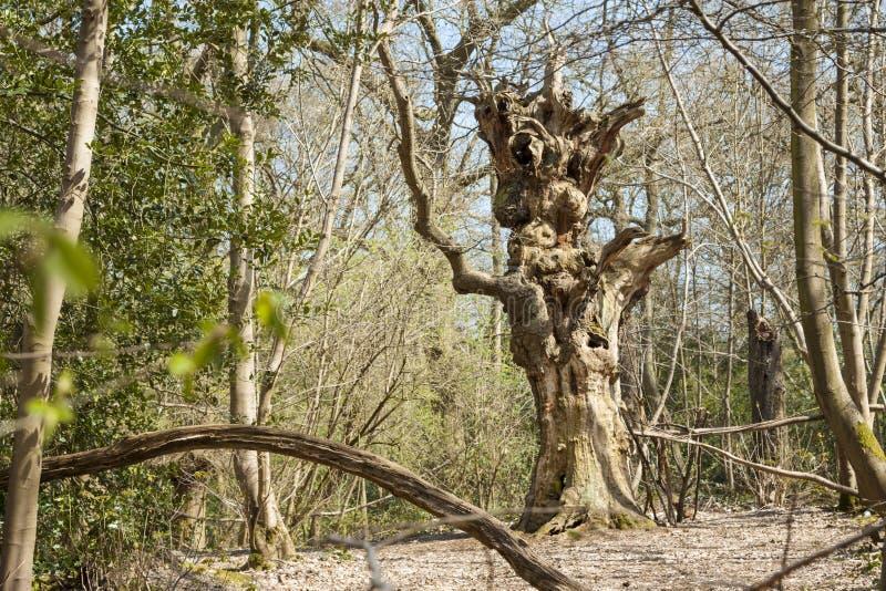 Un ser humano torcido impar como árbol foto de archivo libre de regalías