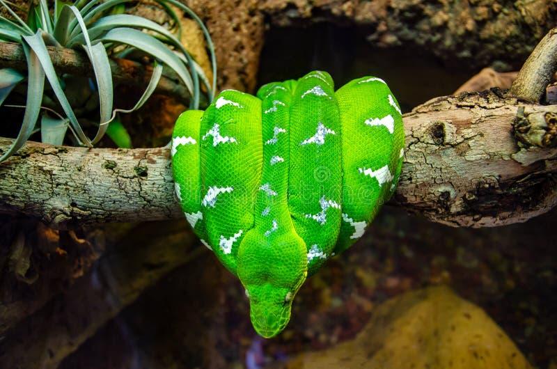 Un serpent d'Emerald Tree Boa se courbe sur une branche d'arbre image libre de droits
