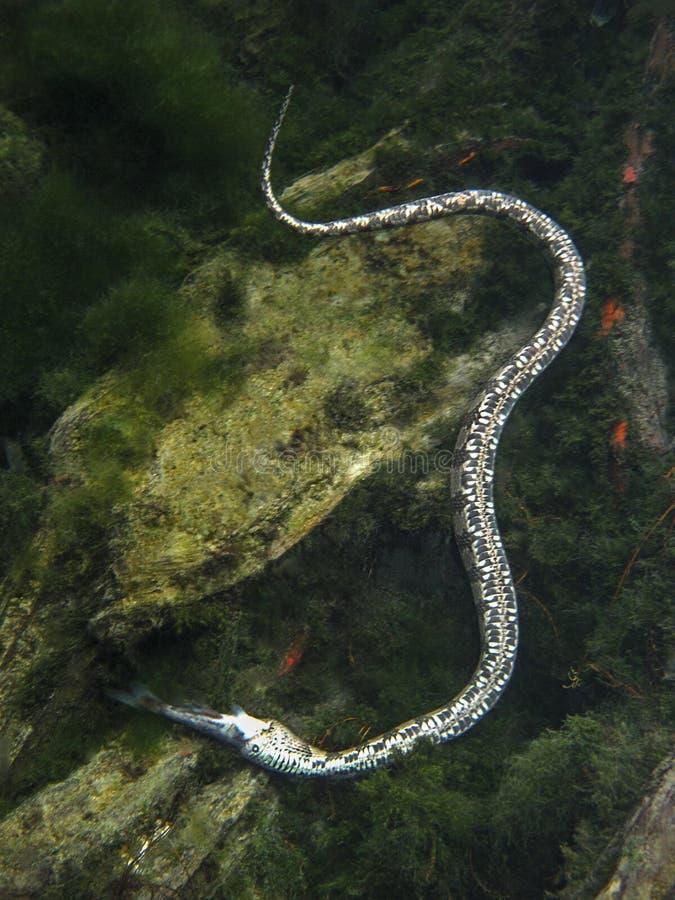 Un serpent de Gray Rat - obsoleta d'Elaphe image libre de droits