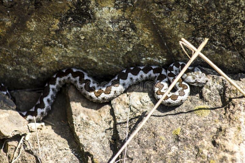 Un serpente che aspettando condizione della preda sulla roccia immagini stock