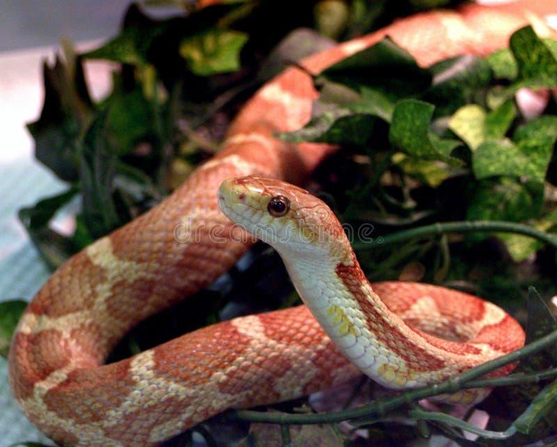 Un serpente in un contenitore di vetro su esposizione fotografia stock