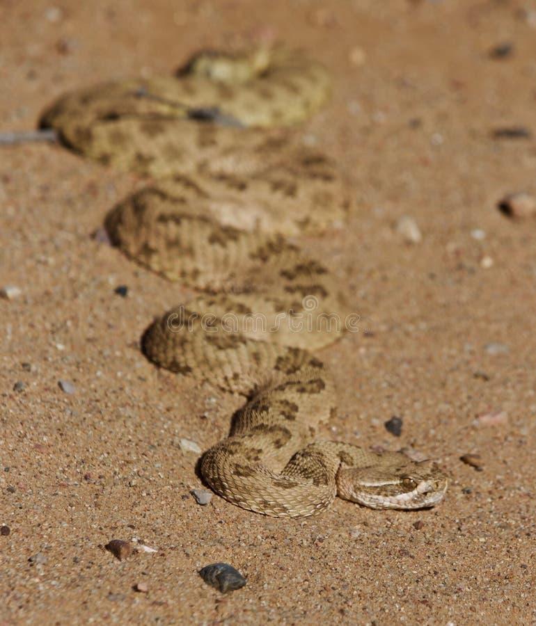 Un serpente di crepitio che assorbe il calore di mattina immagini stock libere da diritti