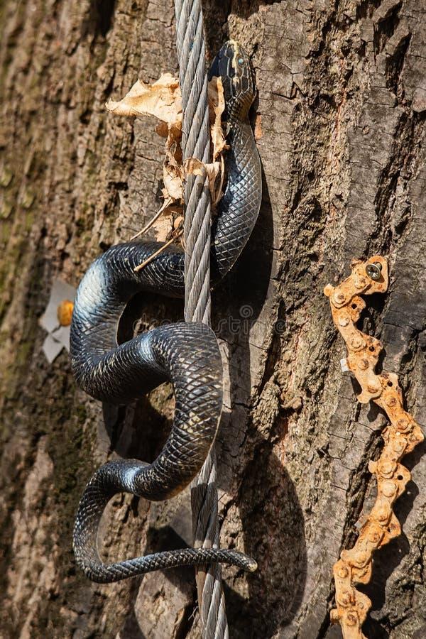 Un serpente di gomma su un albero fotografia stock libera da diritti