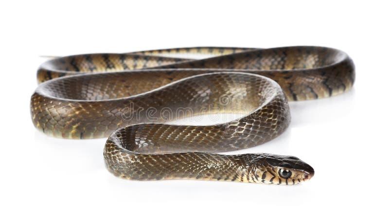 Un serpente isolato su fondo bianco immagine stock libera da diritti