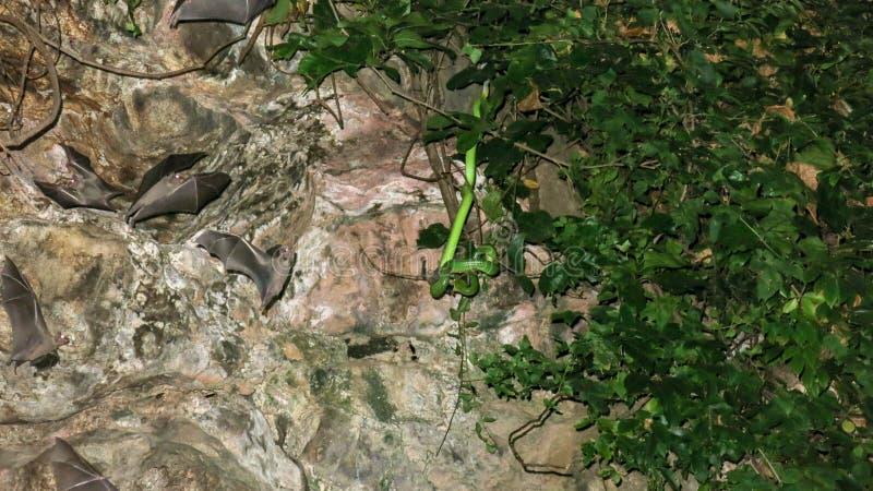 Un serpente tossico nascosto in una vegetazione tropicale in una caverna si apposta per la sua preda I pipistrelli volano in una  fotografie stock libere da diritti