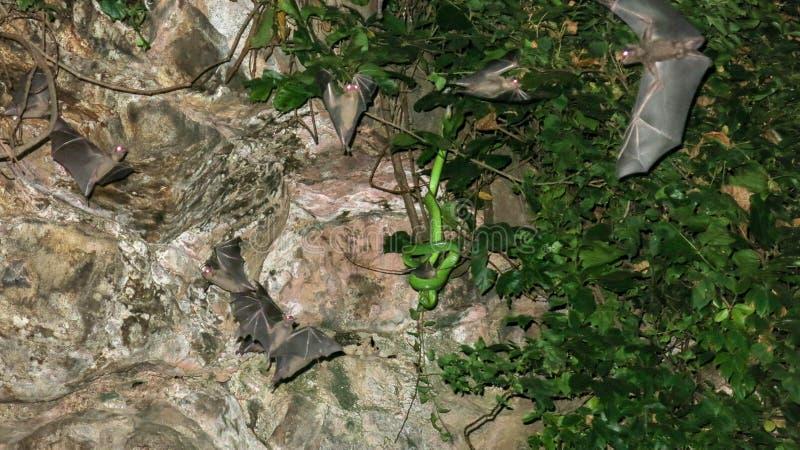 Un serpente tossico nascosto in una vegetazione tropicale in una caverna si apposta per la sua preda I pipistrelli volano in una  fotografia stock