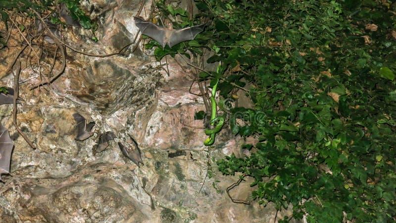 Un serpente tossico nascosto in una vegetazione tropicale in una caverna si apposta per la sua preda I pipistrelli volano in una  immagine stock libera da diritti