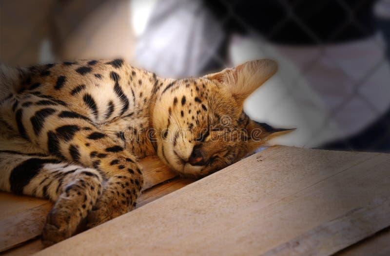 Un serval di sonno nei giorni caldi fotografie stock libere da diritti