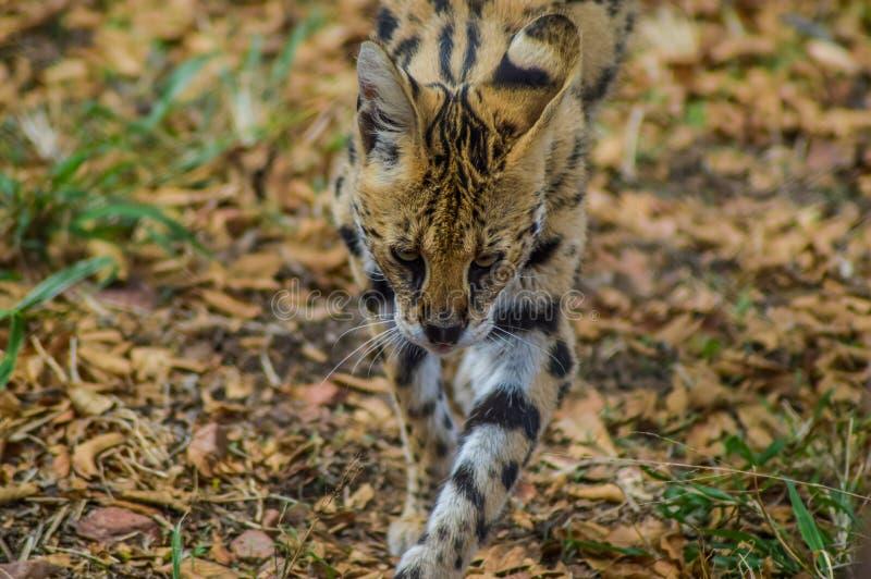Un Serval sveglio e piccolo che fissa noi in una riserva di caccia fotografia stock