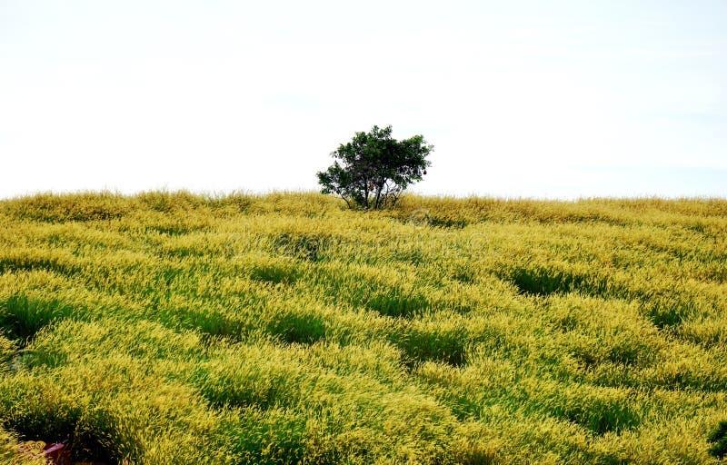 Un seul dans un domaine jaune de cimetière photo stock