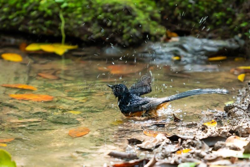 Un Shama blanc-rumped se baignant et secouant outre de l'eau photographie stock