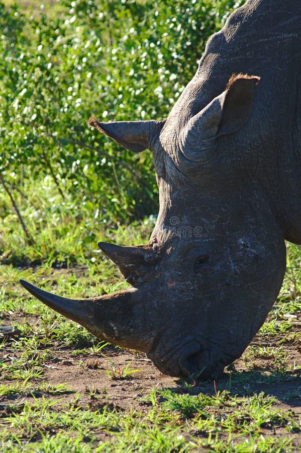 "Un simum del Ceratotherium del rinoceronte bianco parco di iMfolozi in Hluhluwe†"", Sudafrica fotografia stock"
