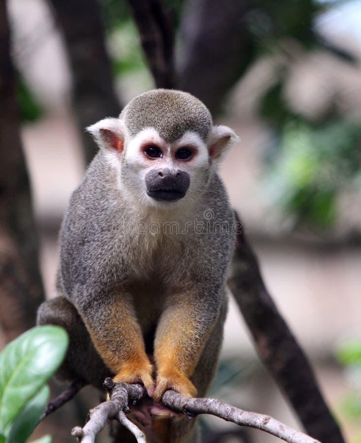 Un singe-écureuil grimpant à un arbre photographie stock libre de droits