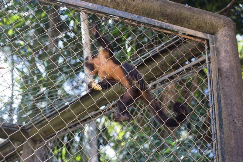 Un singe avec une banane image stock