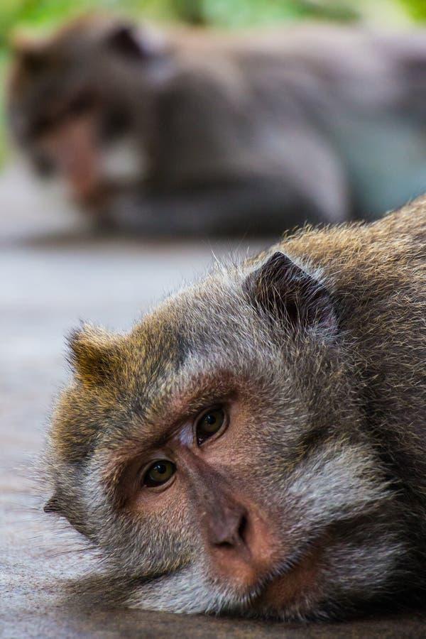 Un singe boudant donne un autre l'indifférence photo stock