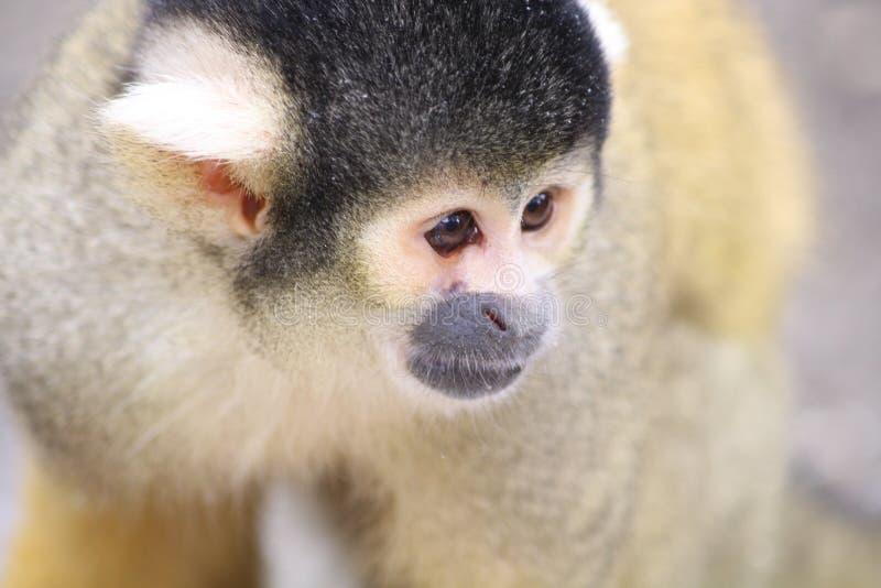 Un singe-?cureuil jaune photographie stock