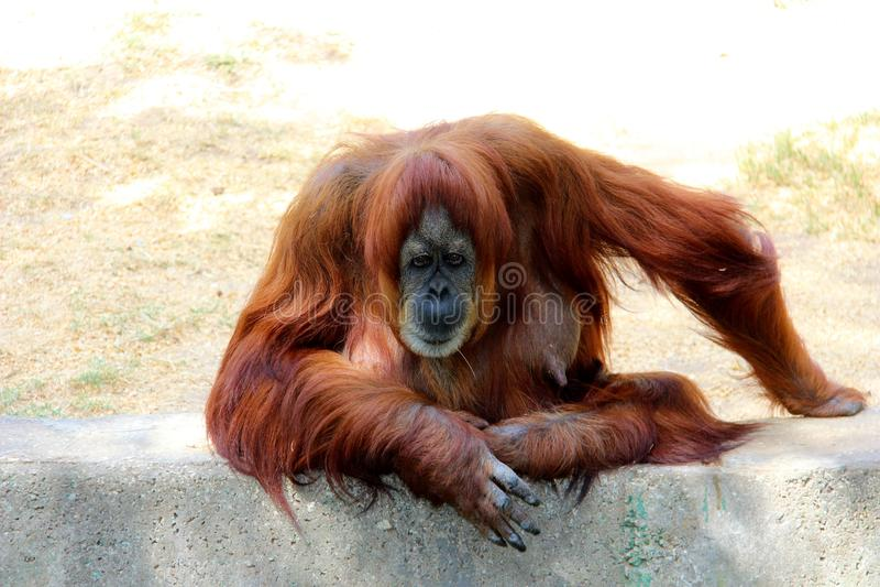 Un singe d'orang-outan dans un zoo photo libre de droits
