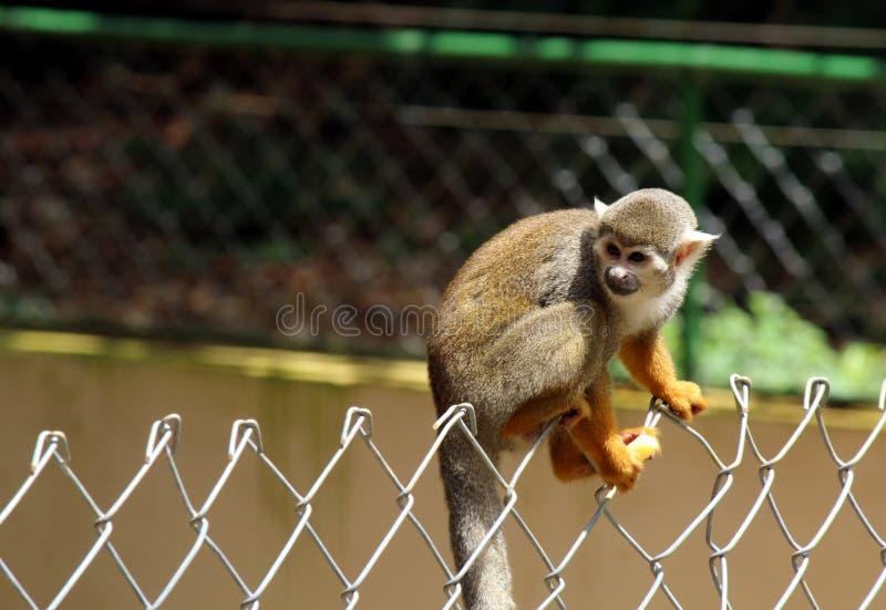 Un singe dans le zoo de Salvador, Bahia, Brésil photos libres de droits