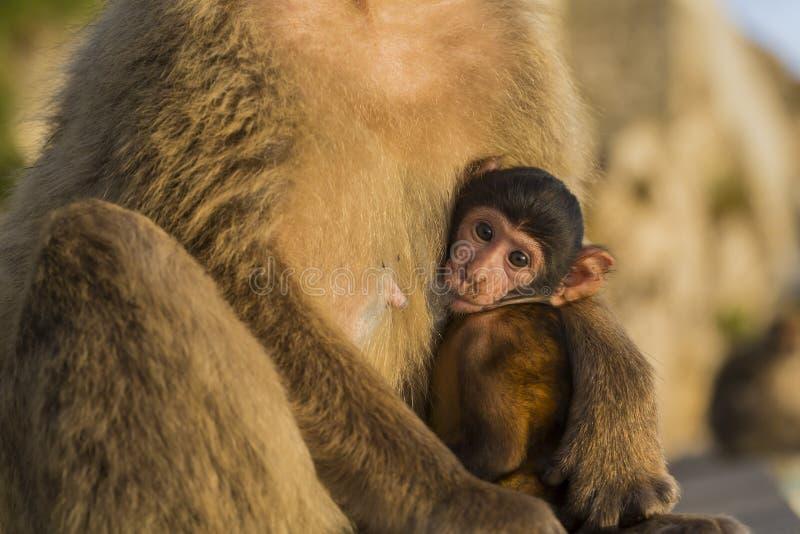Un singe de berber de bébé avec sa mère au Gibraltar photographie stock